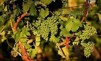 vinobranni1.jpg